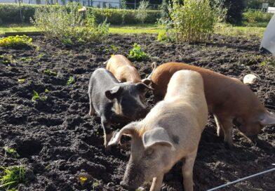 Bij de Groene Inval helpen de varkentjes mee de grond onkruidvrij te maken